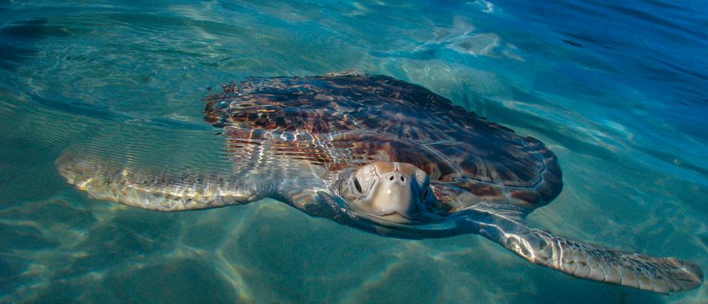 Isla mujeres tortuga Cancún, Isla mujeres tortuga Cancún México, Isla mujeres tortuga México, Isla mujeres tortuga Riviera Maya
